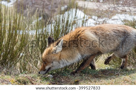 Cute red fox (Vulpes vulpes) crouching down and sniffing