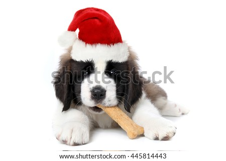Cute Saint Bernard Puppy Wearing Santa Hat Chewing Bone