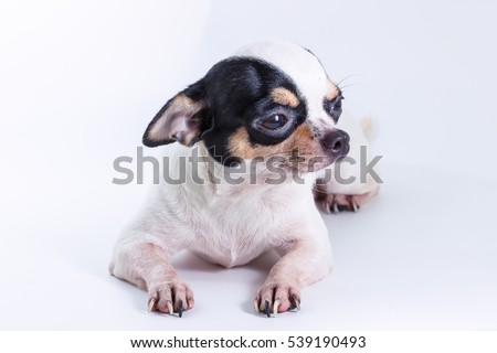 Cute Short Hair Chiwawa, Chihuahua Dog on white background