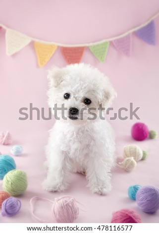 Cute small Bichon Frise puppy at 9 weeks old sitting on pink colorful background