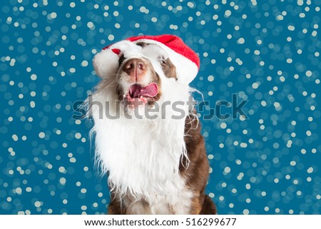 cute springer spaniel in a christmas santa hat and beard sticking out her tongue