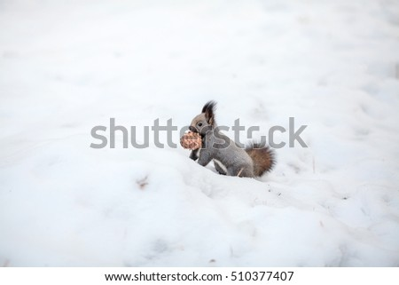 Cute squirrel looking at winter scene, with a cedar cone on snow in winter park or forest.