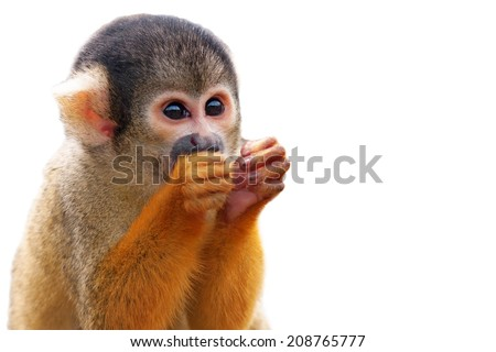 Cute Squirrel monkey (Saimiri) - Isolated on white background