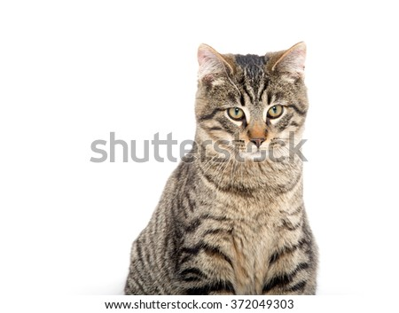 Cute tabby cat portrait isolated on white background