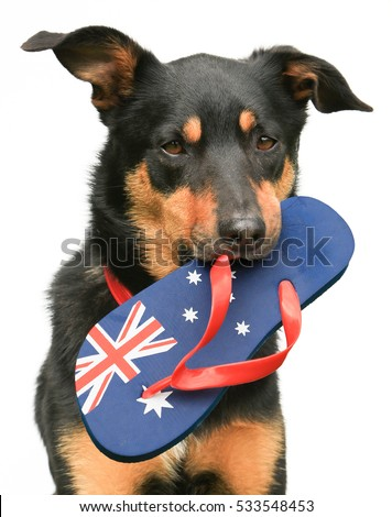 Cute tricolour Kelpie (an Australian breed of sheep dog) holding an Australian flag thong in its mouth, on a white background.