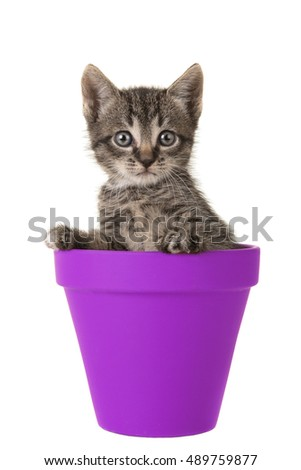Cute 5 weeks old tabby baby cat in a purple flower pot isolated on a white background