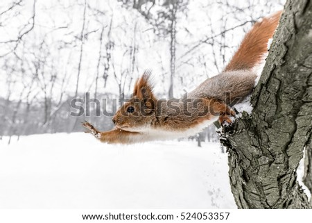 cute young squirrel on tree with held out paw against blurred winter forest in background