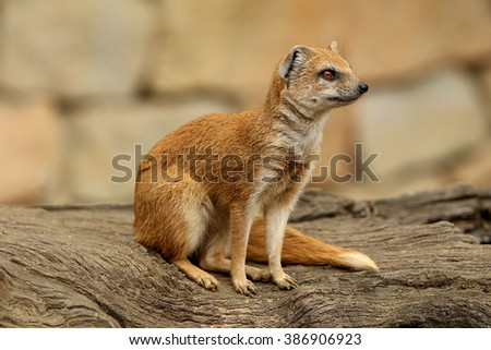Cynictis penicillata (yellow mongoose)