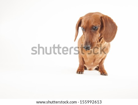 Dachshund dog on a white background