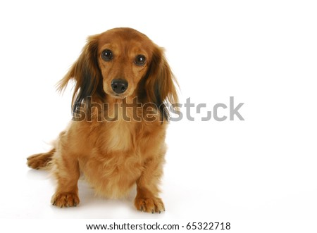 dachshund sitting looking at viewer - long haired miniature