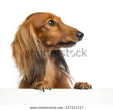 Dachshund, 4 years old, leaning on a white plank and looking right against white background