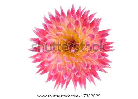 Dahlia flower isolated on white