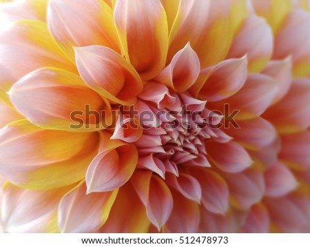 dahlia  flower,  yellow-red-pink.  Closeup.  beautiful dahlia. side view flower, the far background is blurred, for design. Nature.