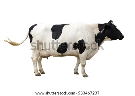 dairy cow on white