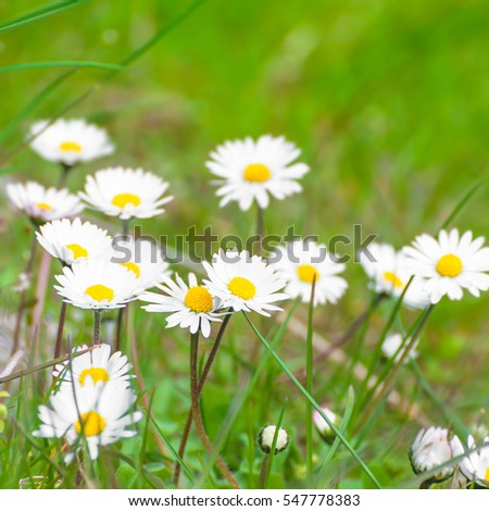 Daisies; Bellis perennis; Blooming lawn weeds; Wild spring blossoms