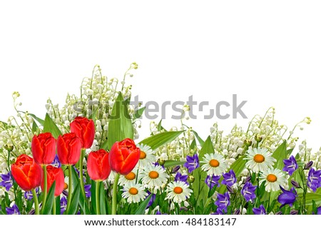 daisies summer white flower isolated on white background. tulip