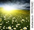 Daisy field and stormy dramatic sky with sunlight. - stock photo