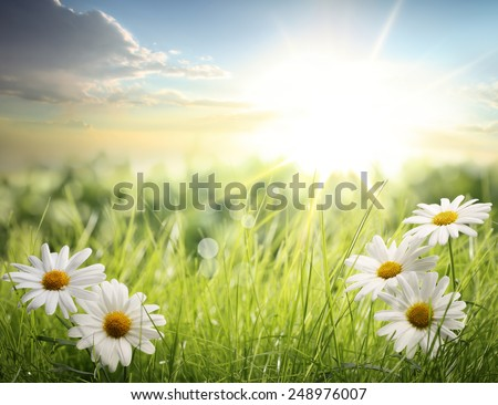Daisy field in the morning