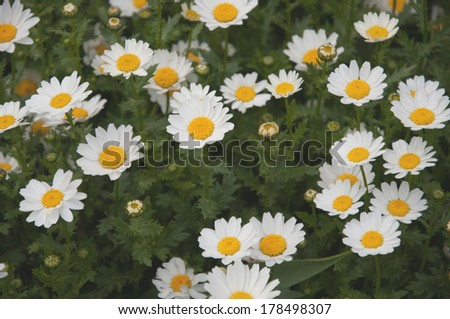 daisy flowers on garden as a background