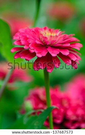 Daisy-gerbera red flowers in garden with green background