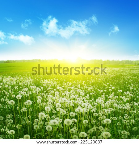 Dandelion field,blue sky and sunlight.
