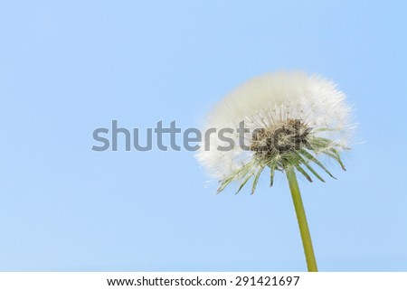 Dandelion flower over blue sky background with copy space
