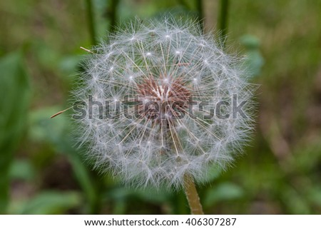 Dandelion flower ready to emit their seeds