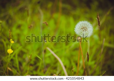 dandelion in a field