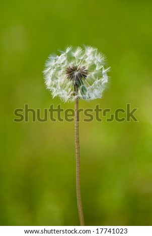 Dandelion in green background