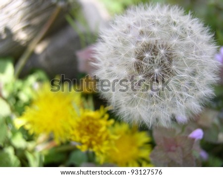 dandelion in two life stages