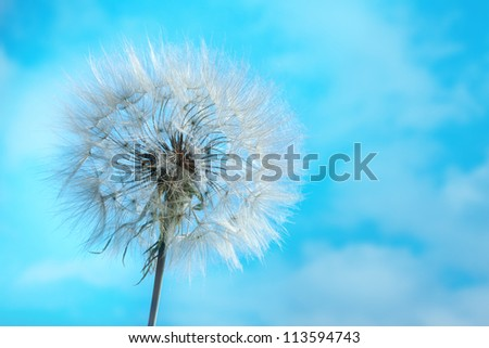 Dandelion Isolated in the blue sky with clouds background