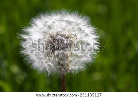 Dandelion on a background of spring green grass