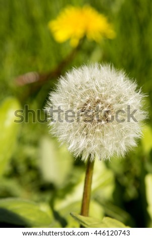 Dandelion seeds awaiting a brisk breeze to travel across the land.
