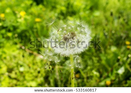 Dandelion seeds fly in the wind