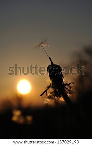 Dandelion silhouette at sunset with last seed. Vertical image