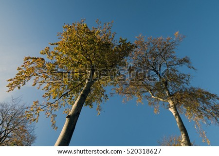 Danish colorful autumn beech trees sky blue and from below