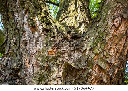 Dark and light brown color bark of the tree with cracked parts, brown ivory wooden bark as background, bark texture as nature wallpaper