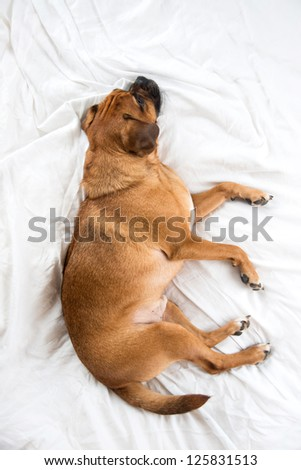Dark Fawn Puggle Dog Sleeping on Owners Bed