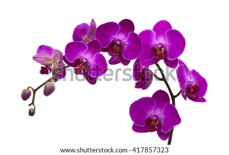 dark magenta phalenopsis, moth orchid;  isolated on white
