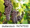 Dark red ripe grapes with the sunlight shining through the vine leaves - stock photo