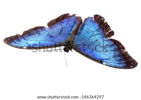 Dead Blue Morpho butterfly isolated on a white Background