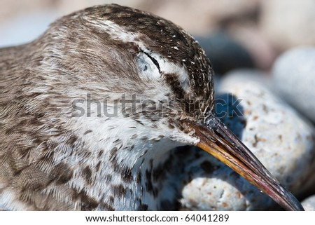 death of a sandpiper bird at the beach