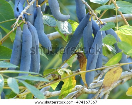 Decaisnea fargesii, Blue Sausage Fruit, Lardizabalaceae family. West China