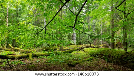 Deciduous stand of Bialowieza Forest in springtime with partly dead broken oak and hornbeam branch over