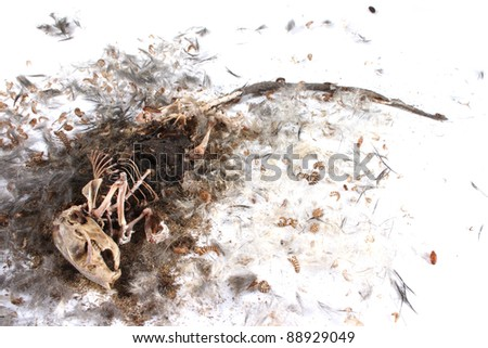 Decomposing life cycle of a grey field mouse (Mus Musculus)  - day 034