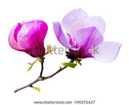 decoration of few magnolia flowers. pink magnolia flower isolated on white background.