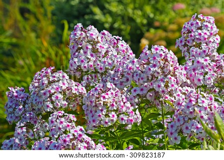 Decorative high perennial garden plant Phlox (Phlox). Group of flowering plants