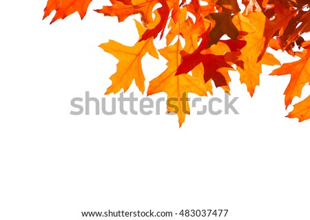 Decorative orange leaves frame. Leaves are isolated against white background. Free space to add a text. Autumn theme