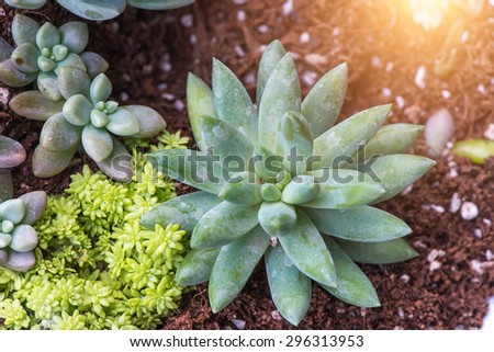 Decorative succulent plants