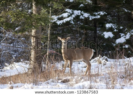 Deer by a tree in winter near Hayden Lake, Idaho.